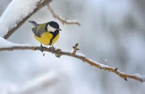 Kohlmeise im Winter Copyright: Icarmen13 Fotolia
